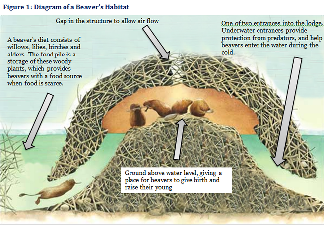 north american beaver the north american beaver who doesn\u0027t love North America Beaver Range north american beaver the north american beaver north american beaver, beaver dam, lewis