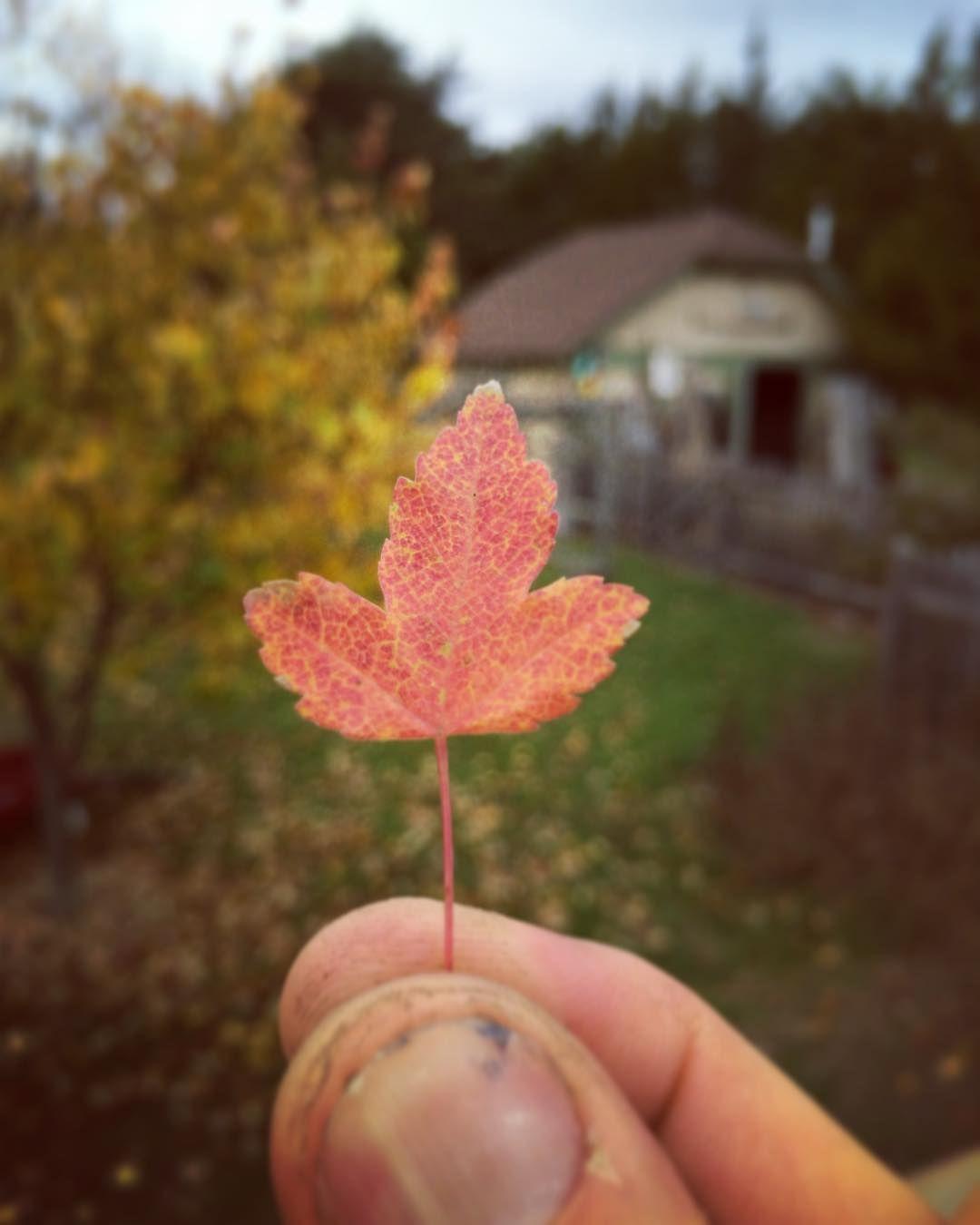 Trident #maple #bonsai leaf in #autumn #nj