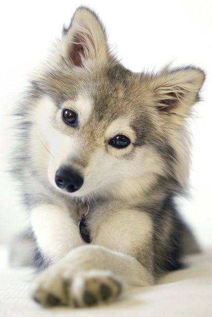 Cute Husky Puppy Coloring Pages Design