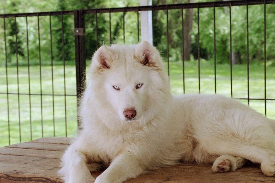 Beautiful White Siberian Husky Pups For Sale White Siberian