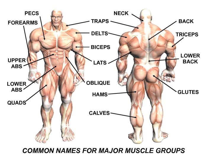 Diagram Of Human Body Muscle Groups And Names - DIY Enthusiasts ...