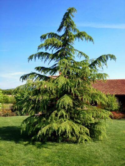 Japanese Cedar Tree Care And Pruning Learn About Planting Japanese Cedar Trees Cedar Trees Ornamental Trees Cedar Hedge