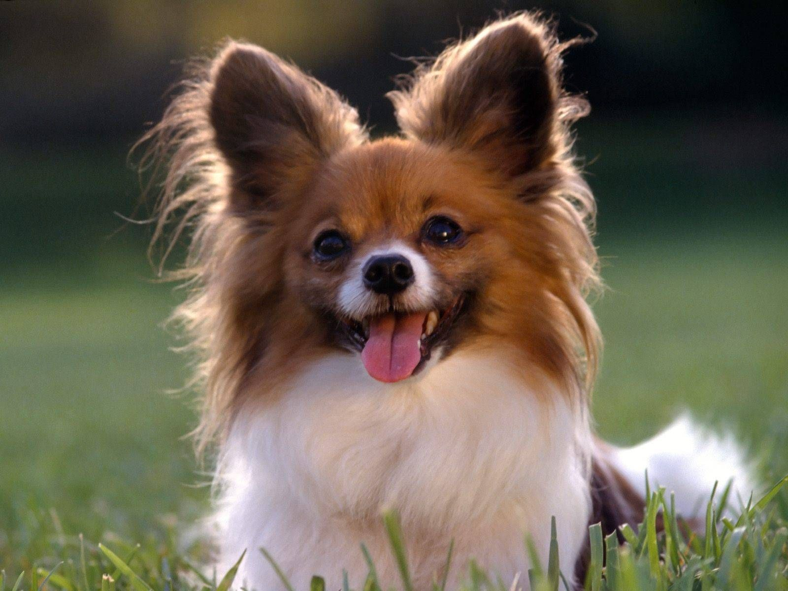 Long Haired Chihuahua Red White Dogs Wallpaper Papillon Dog Papillon Puppy Cutest Small Dog Breeds