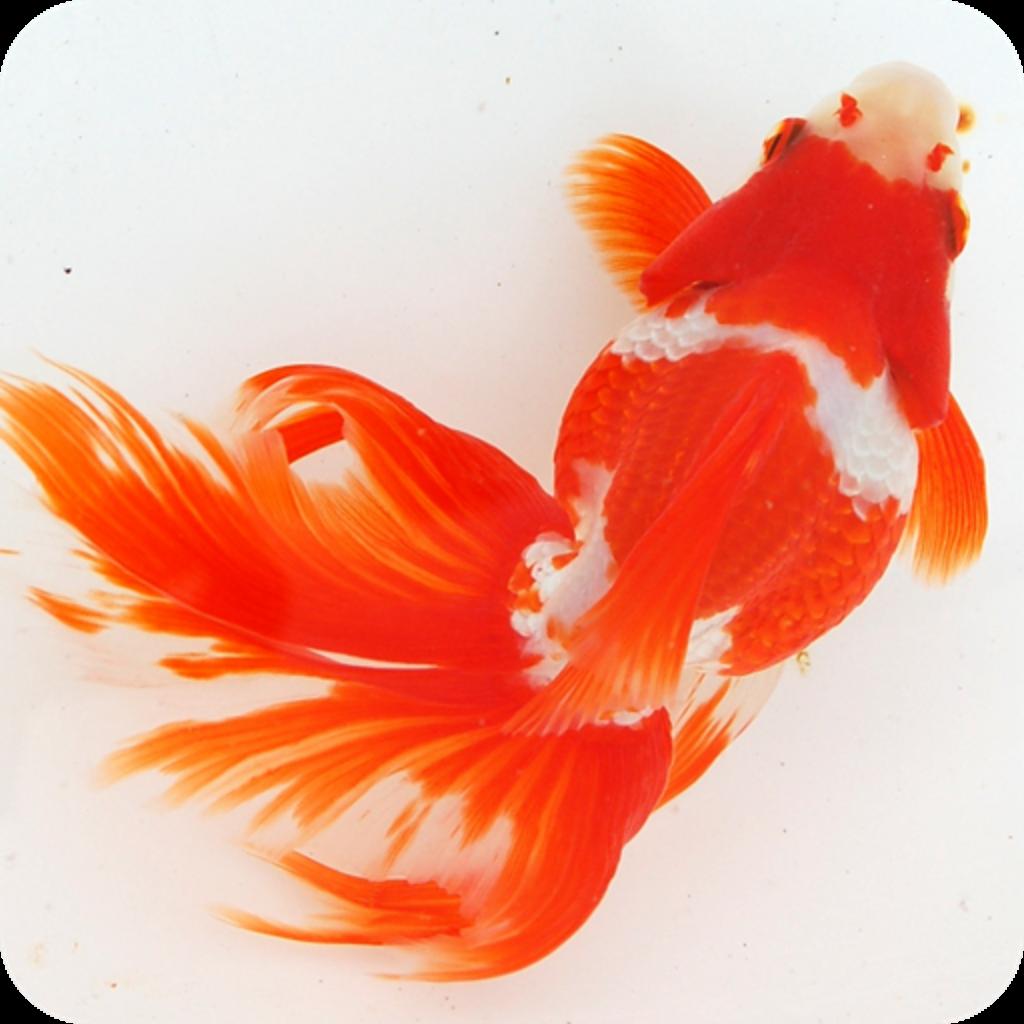 Goldfish おしゃれまとめの人気アイデア Pinterest Alex Horvath 金魚 金魚 アート 水族館の魚