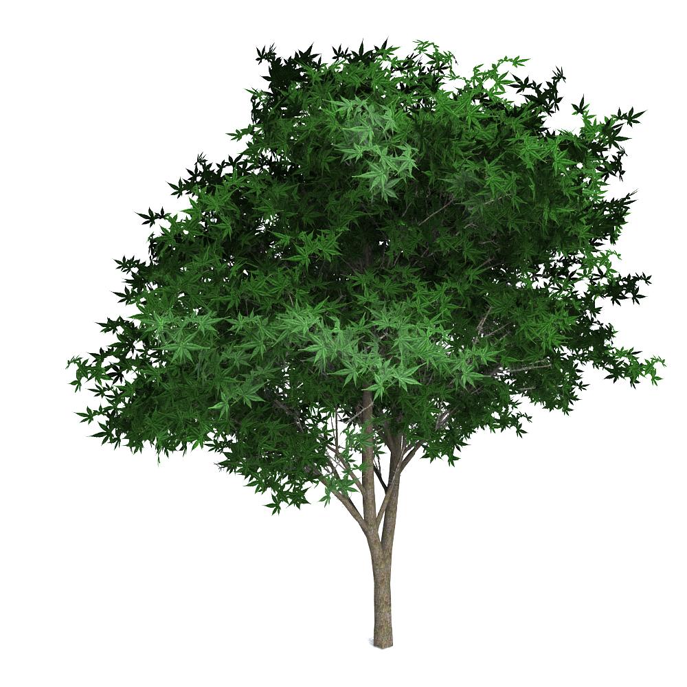 Green Japanese Maple Green Japanese Maple Japanese Maple Japanese Maple Tree