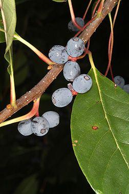 Fruit Of Nyssa Sylvatica Black Gum Tupelo Black Gums Tree Identification Nyssa