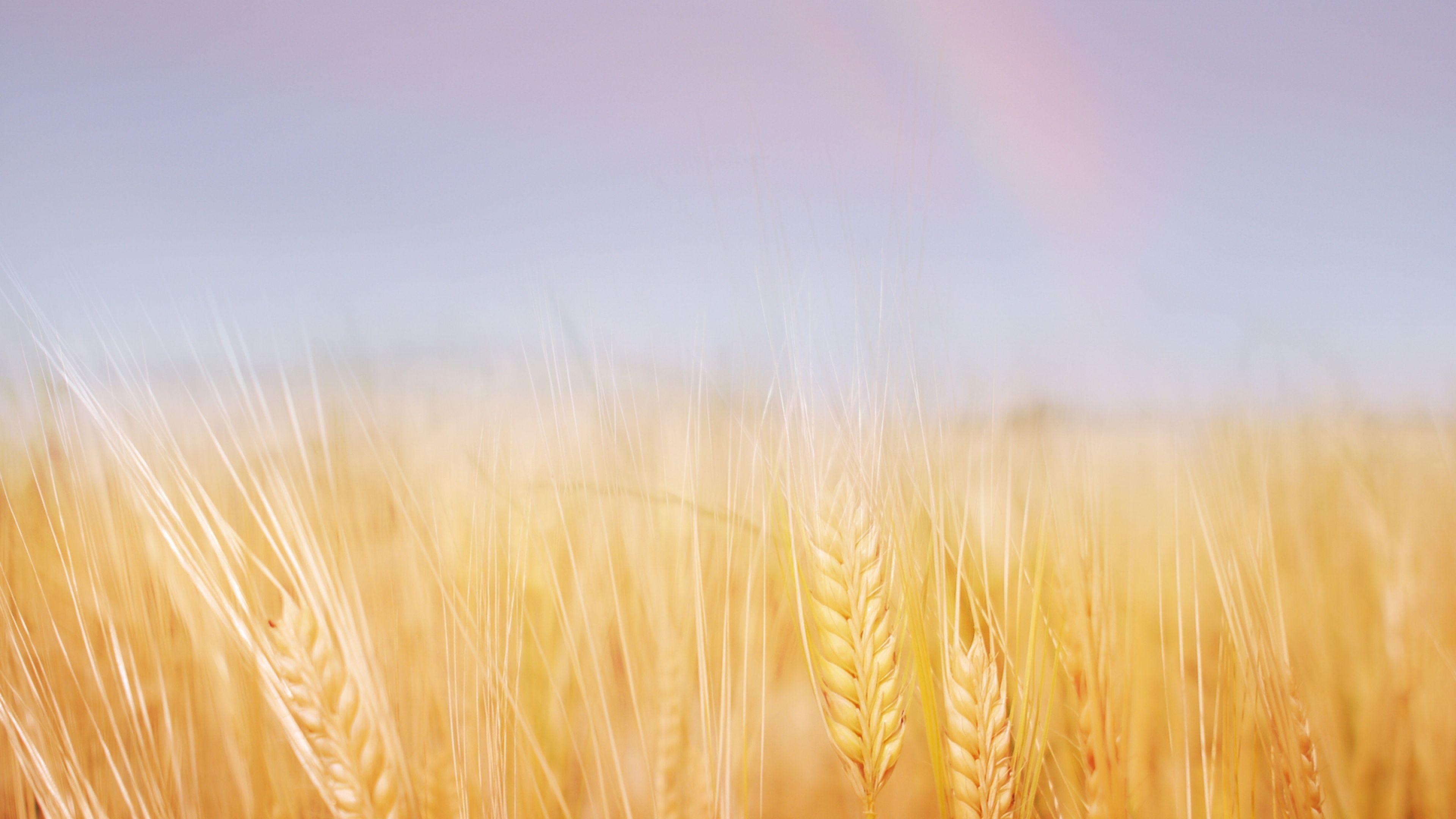 Download Wallpaper 3840x2160 Ears Field Wheat Gold Sky Rainbow 4k Ultra Hd Hd Background Hd Wallpaper Nature Sky Rainbow Wallpaper Nature