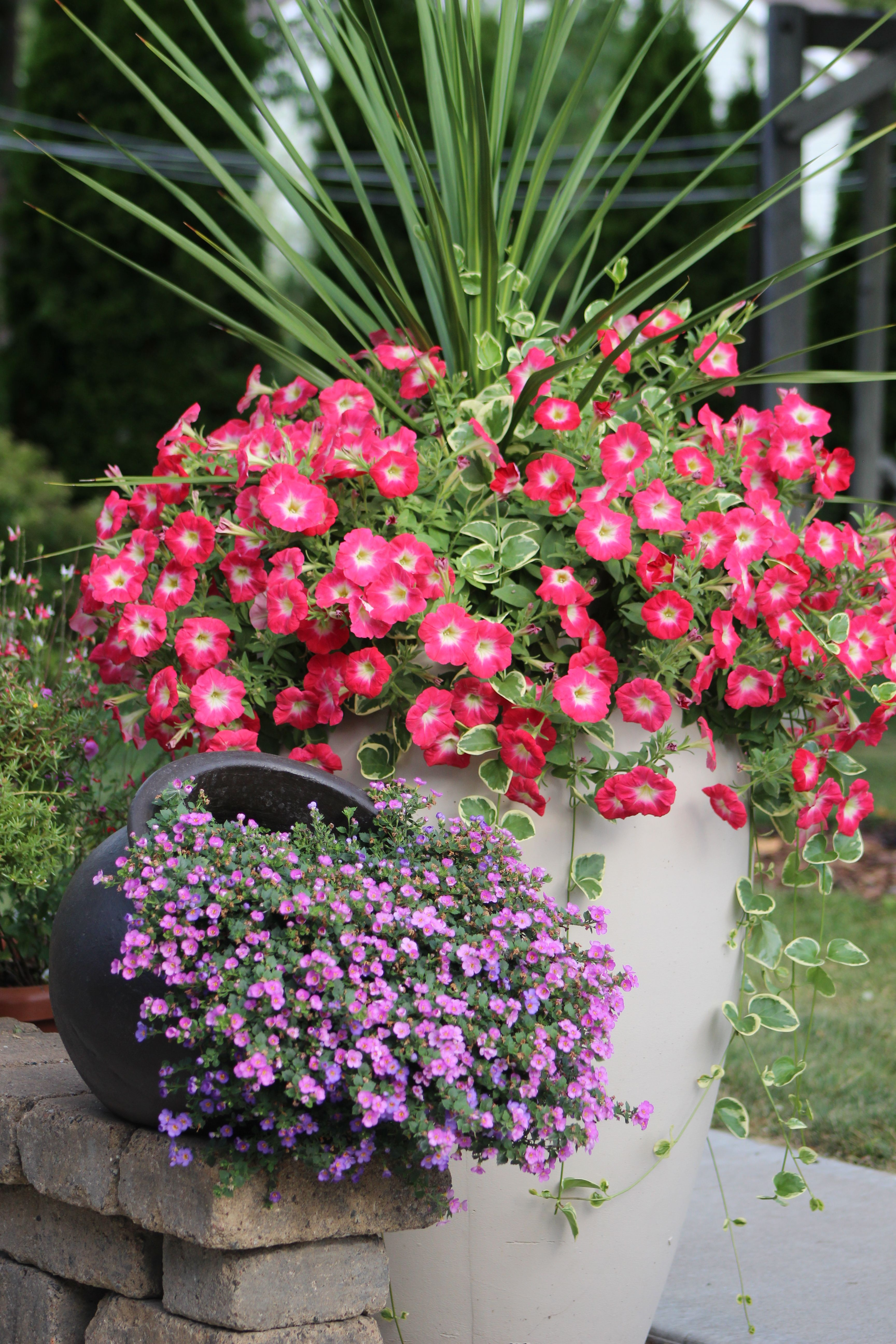 Container Gardeningtunias Spike And Purple Pink Bacopa