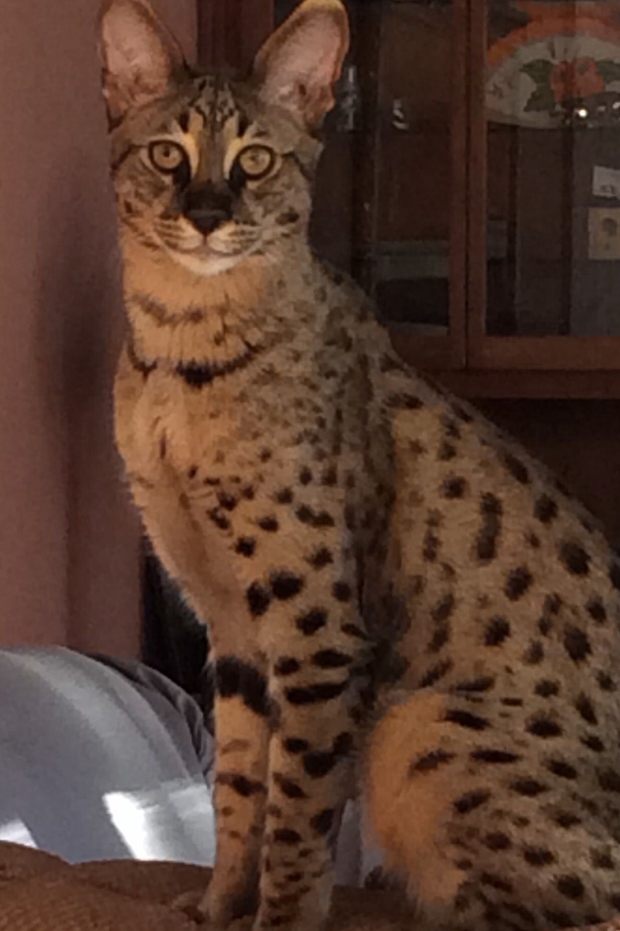 Own a savannah cat. actually saw one of these in