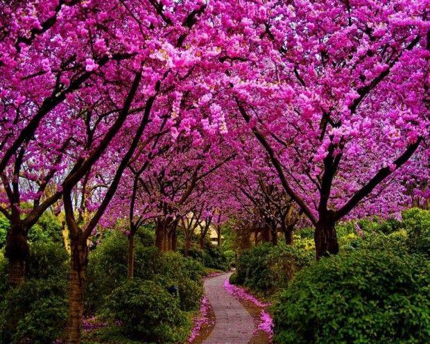 Jacracanda Street Sydney Australia Http Travels Boldly Blogspot Com 2014 07 Jacracanda Street Sydney Belos Jardins Arvore Primavera Ideias De Paisagismo