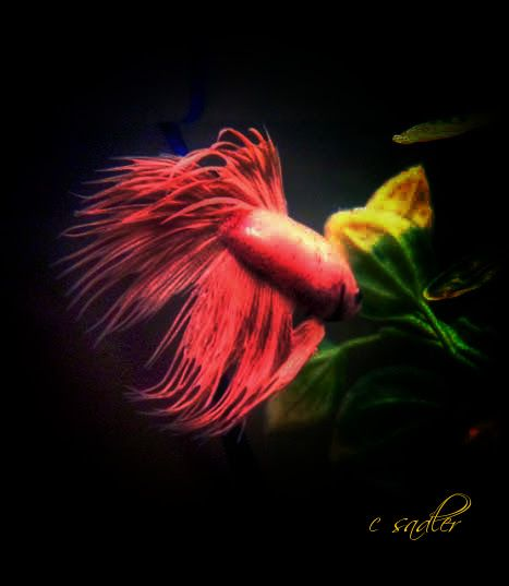 yellow golden  crowntail betta