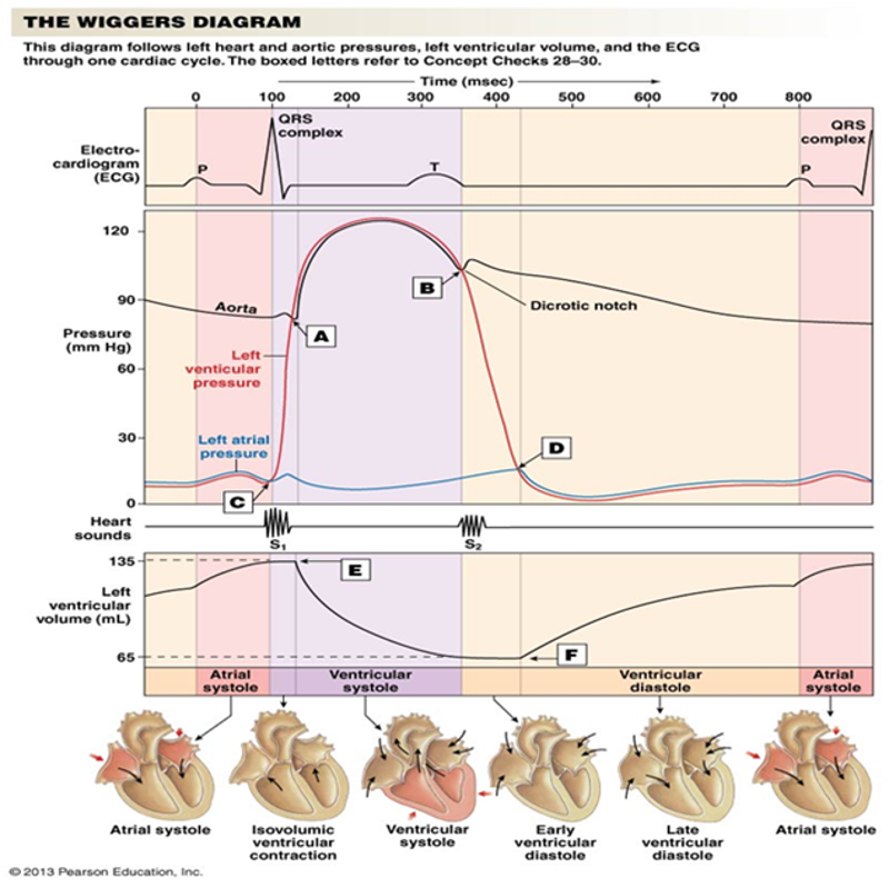 Wiggers diagram - Google Search | nursing | Pinterest | Med school ...