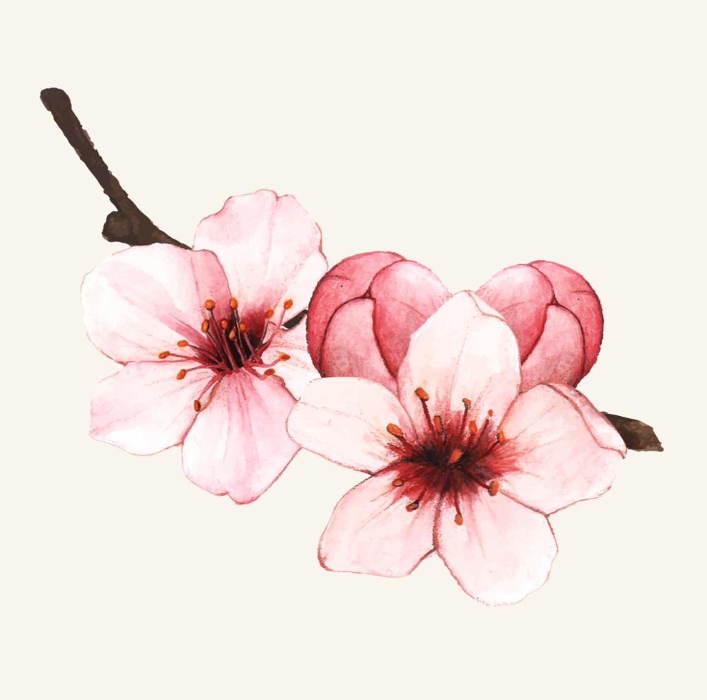Cherry Blossom Originated In China 1 Chinadaily Com Cn