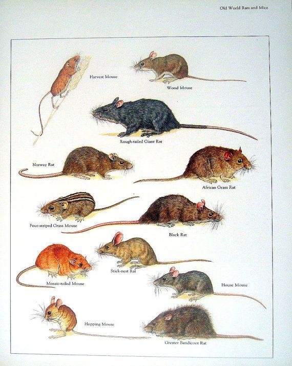 Las ratas y ratones cosecha ratón rata ratón de madera | salvador ...