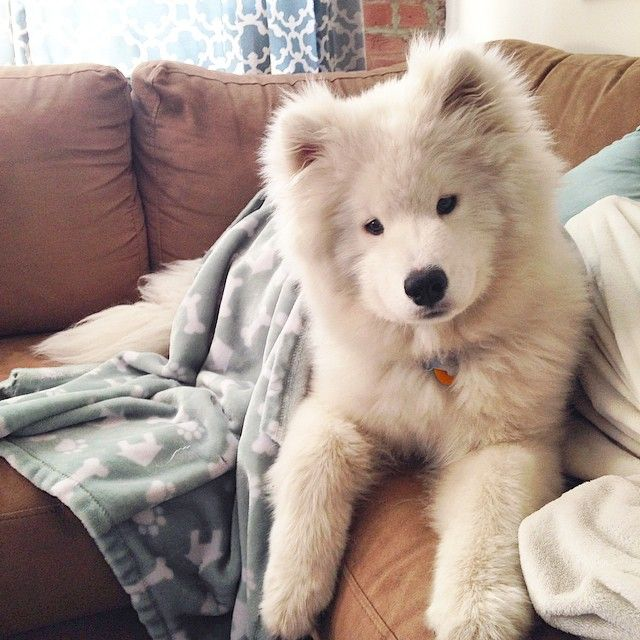 Samoyed Is Synonymous For Fluffball Cute Animals Cute Animal Pictures Cute Puppies
