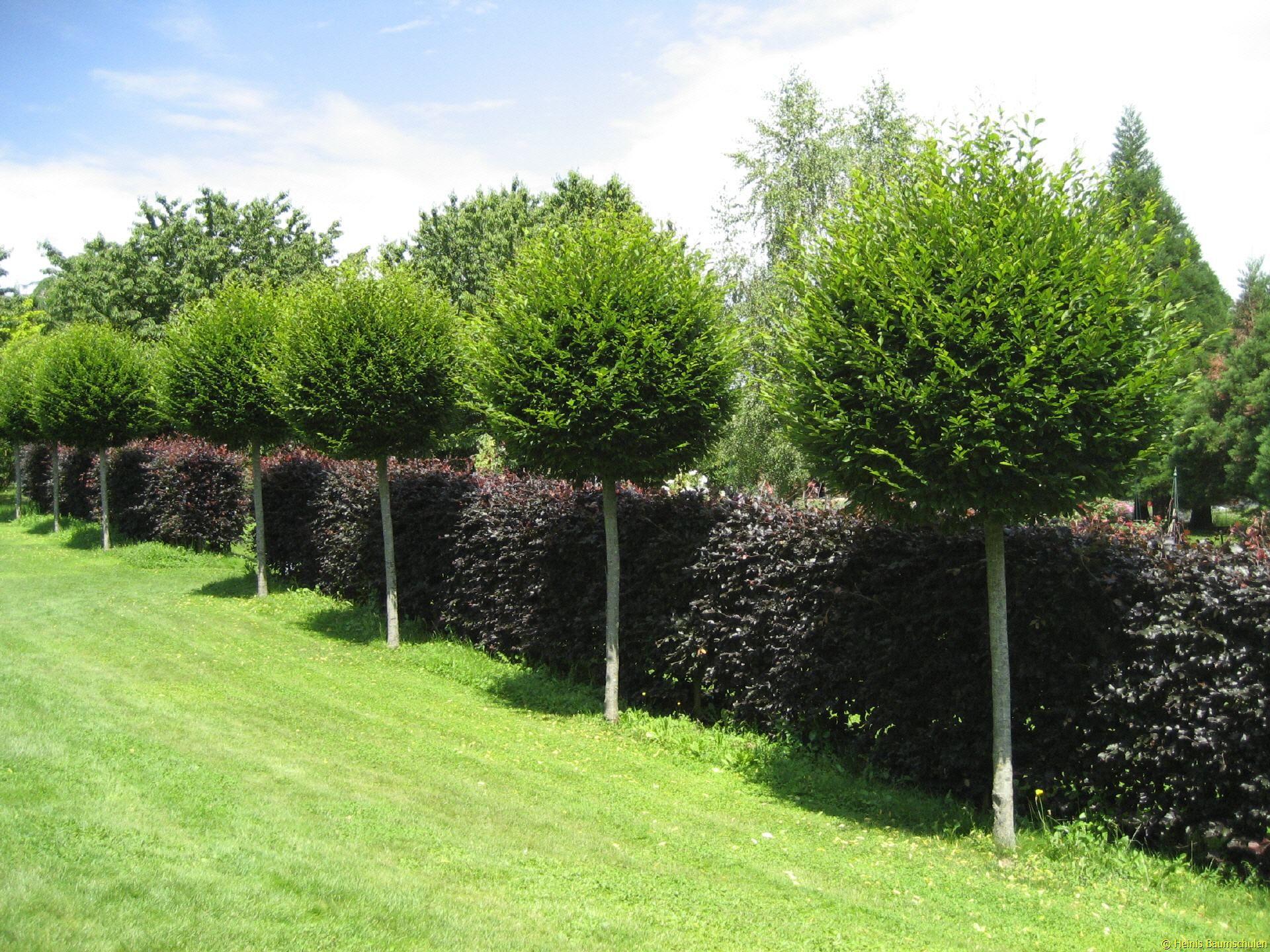 Ehrfürchtige Bäume Als Sichtschutz