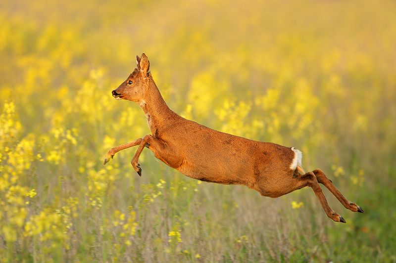 Leaping Roe Deer