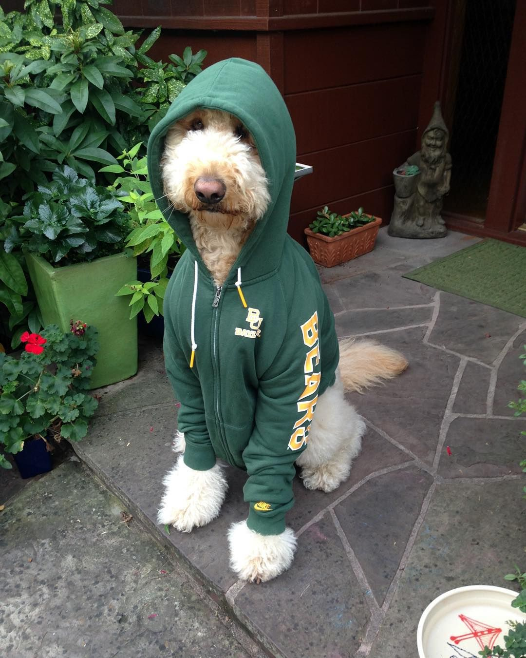 631dc65e345 A Baylor puppy in a sweater. Does it get any better? | Baylor Pets ...
