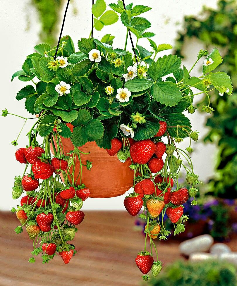 Pin By Alyssa Hagen On Red Summer Plants Strawberry Plants Edible Garden