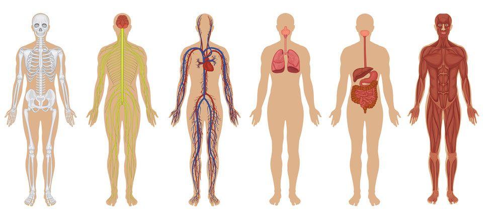 human body - Buscar con Google   Recursos Naturales Primaria y ESO ...