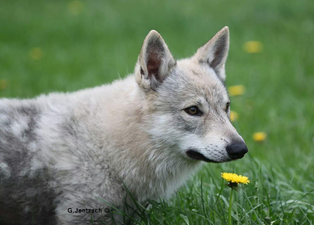 Monchi Tschechoslowakischer Wolfshund Pawshake