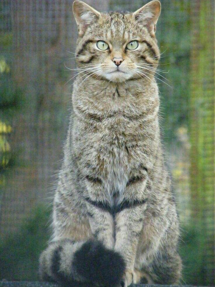 Scottish Wildcat or Highland Tiger (With images) | Cat scottish ...