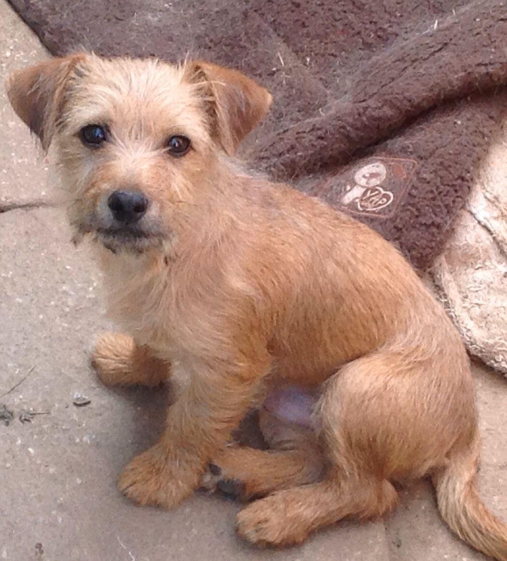 Jack Russell X Norfolk Terrier Norfolk Terrier Terrier Border