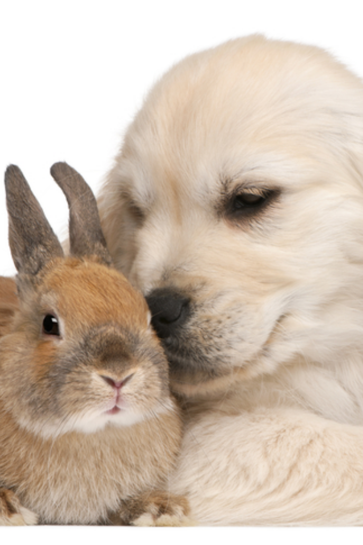 Golden Retriever Puppy 20 Weeks Old And A Rabbit In Front Of White Background Goldenretriever Golden Retriever Puppies New Puppy