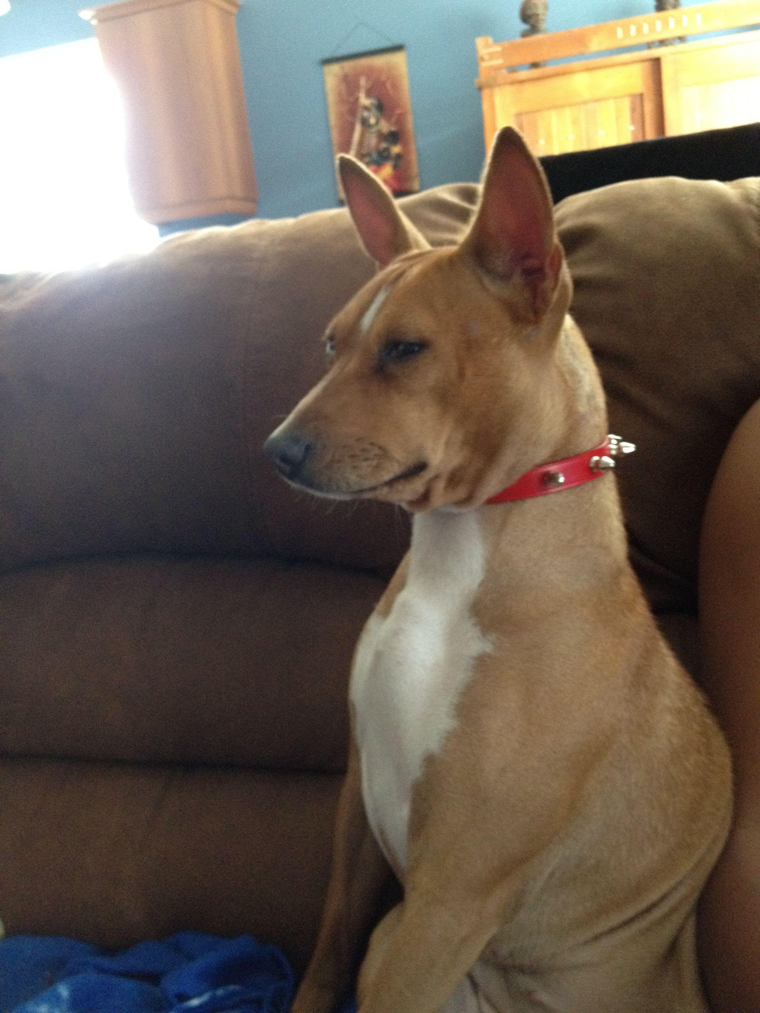Basenji dog Dog shots, Basenji dogs, Dog deals