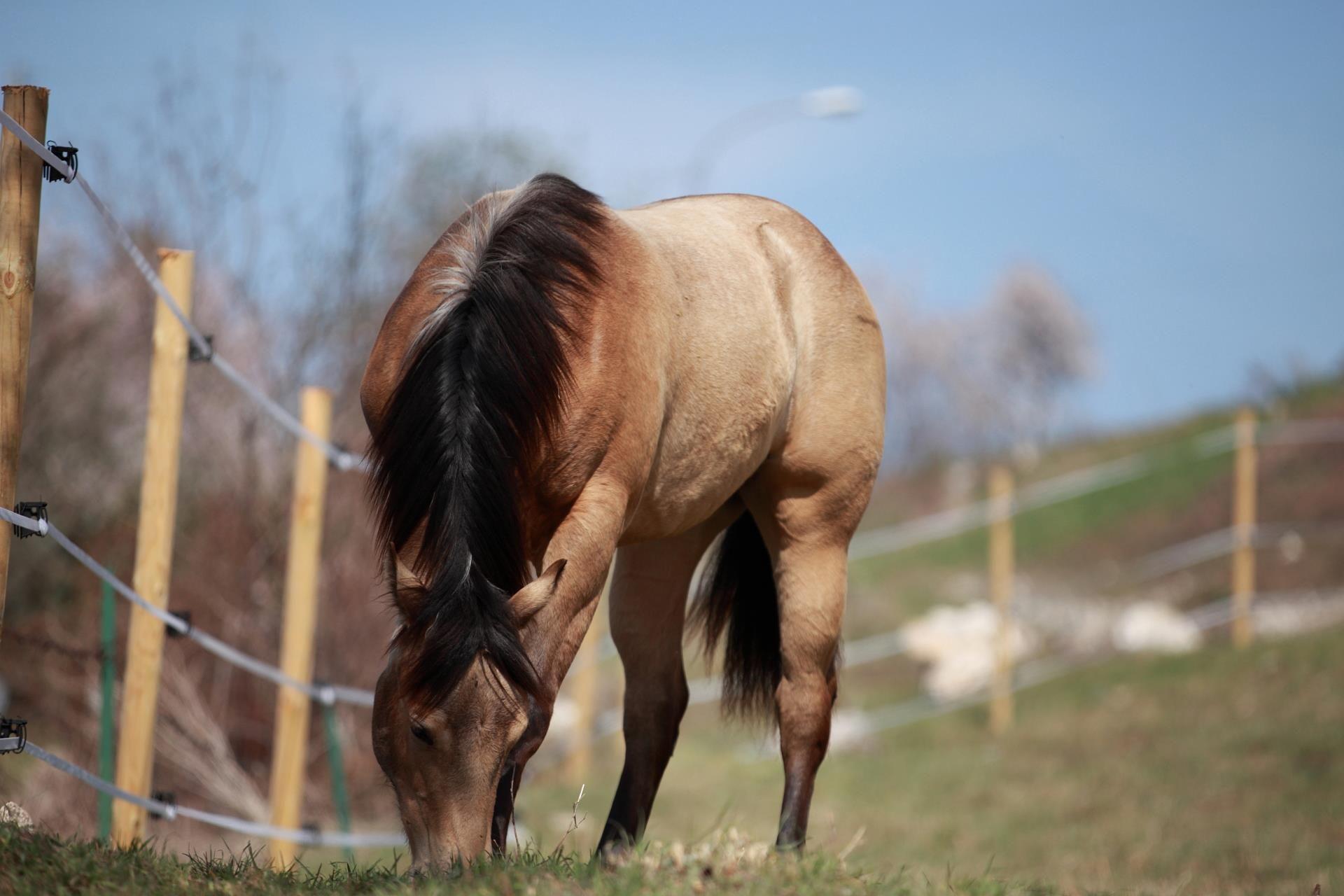 quarter horse buckskin - photo #7