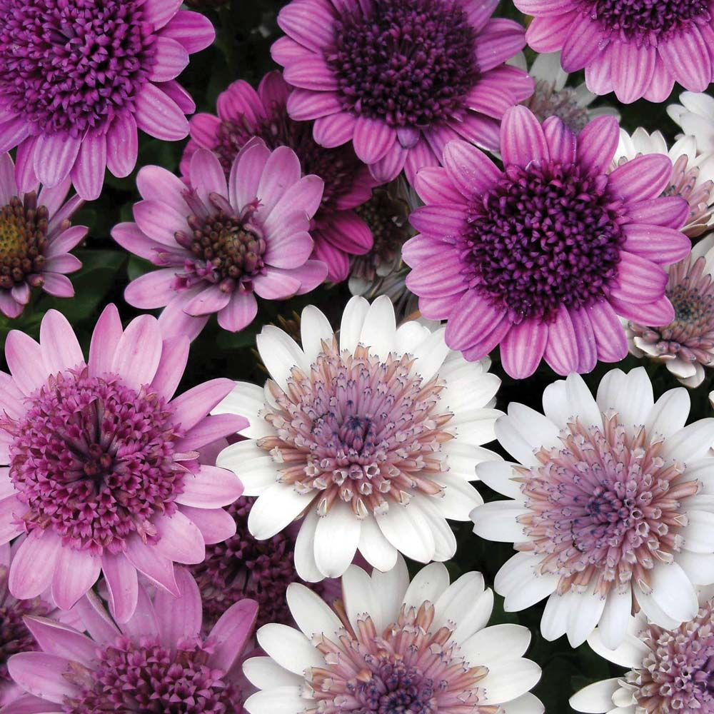 Osteospermum 39 Flower Power 39 Half Hardy Annual Flowers June