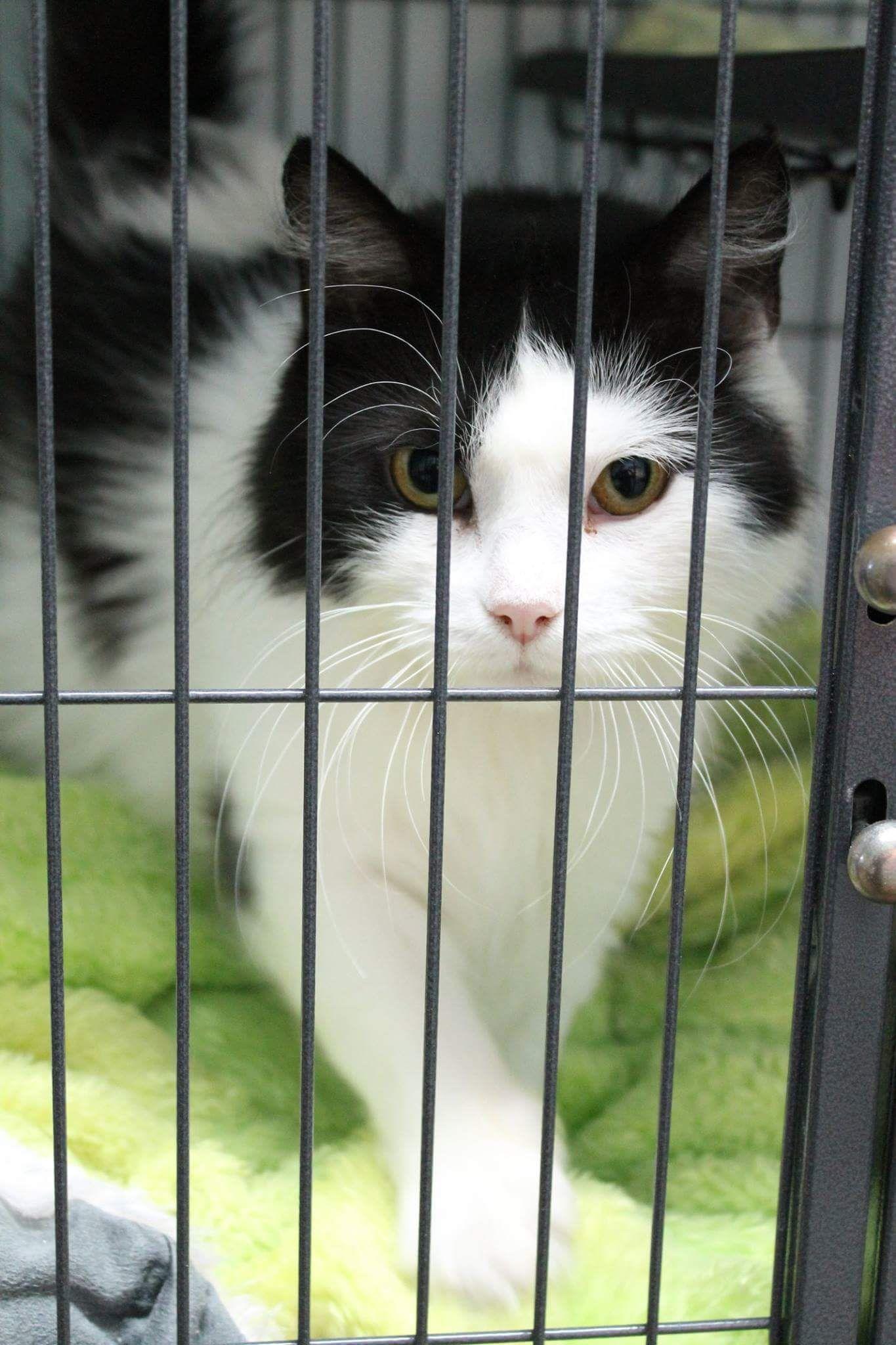 Adopt Victoria On Petfinder Spca Cats Pet Adoption Cute Cats