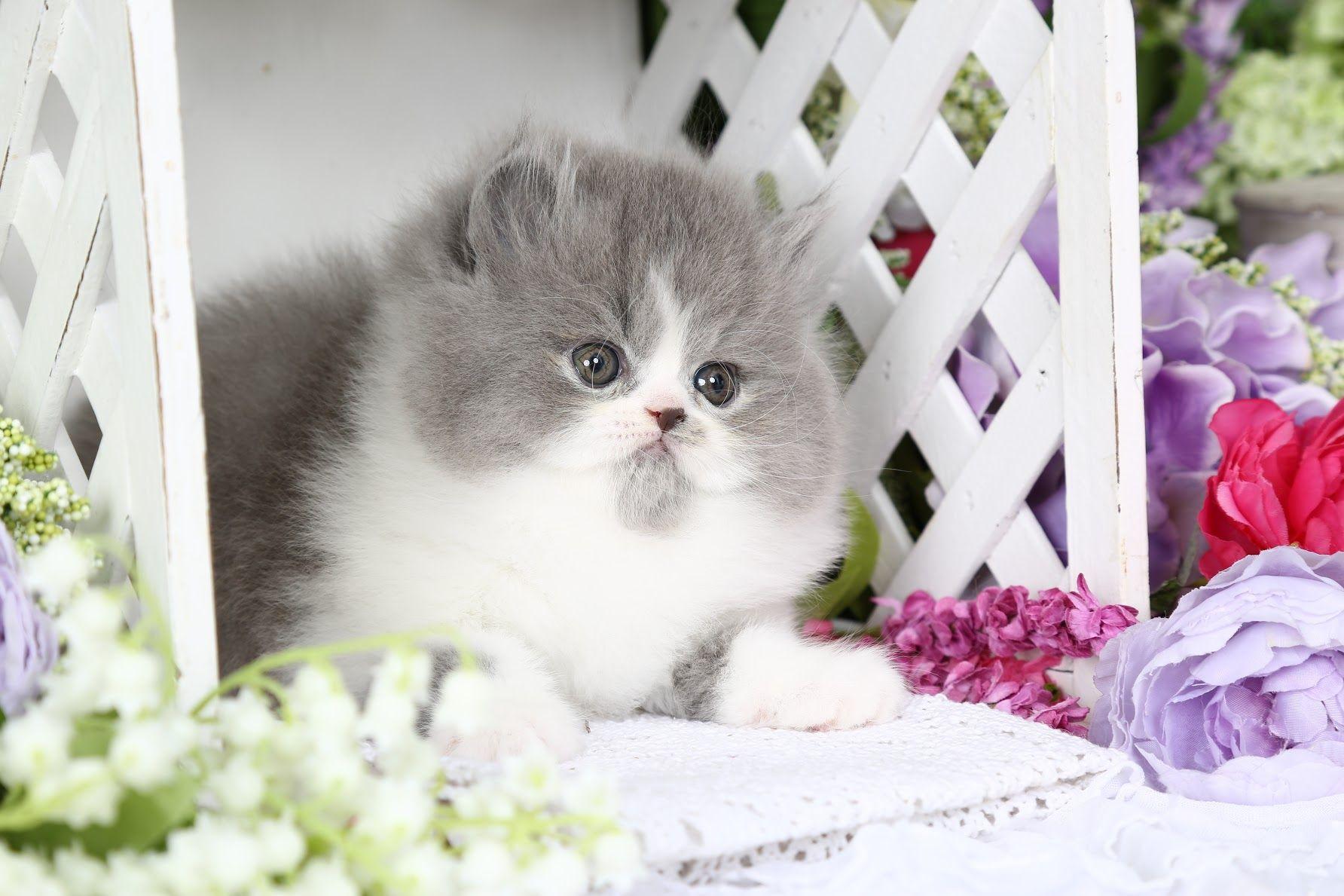 Penelope Click Here Persian kittens, Persian kittens