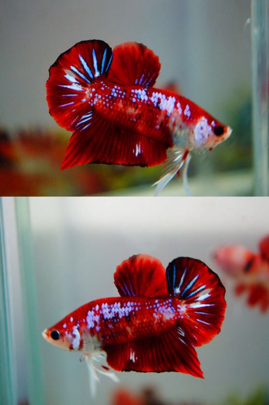 Love the different colored scales on this one! Koi bettas are ...
