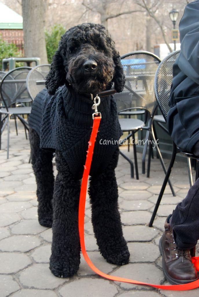 Canined Groomed Black Standard Poodle Dog Central Park Nyc 31409