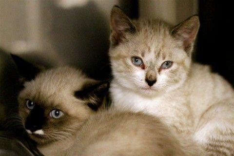 Siamese Mix Kittens Pets Kittens Animals