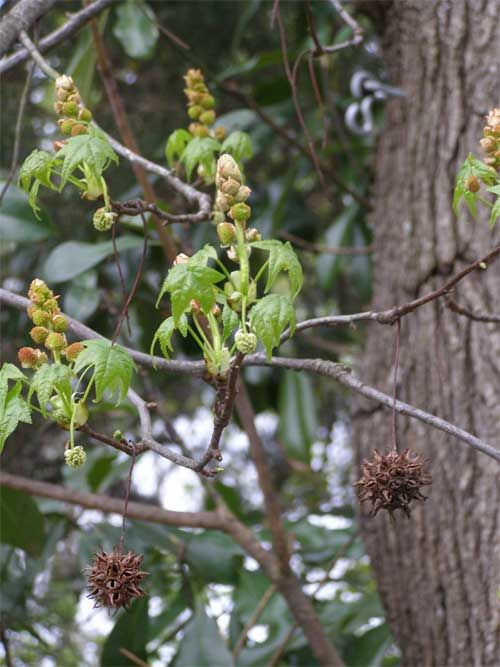 Sweetgum Balls Last Year S Sweet Gum Balls Still Hanging While This Year S Leaves Sweet Gum Tree Seeds Gum