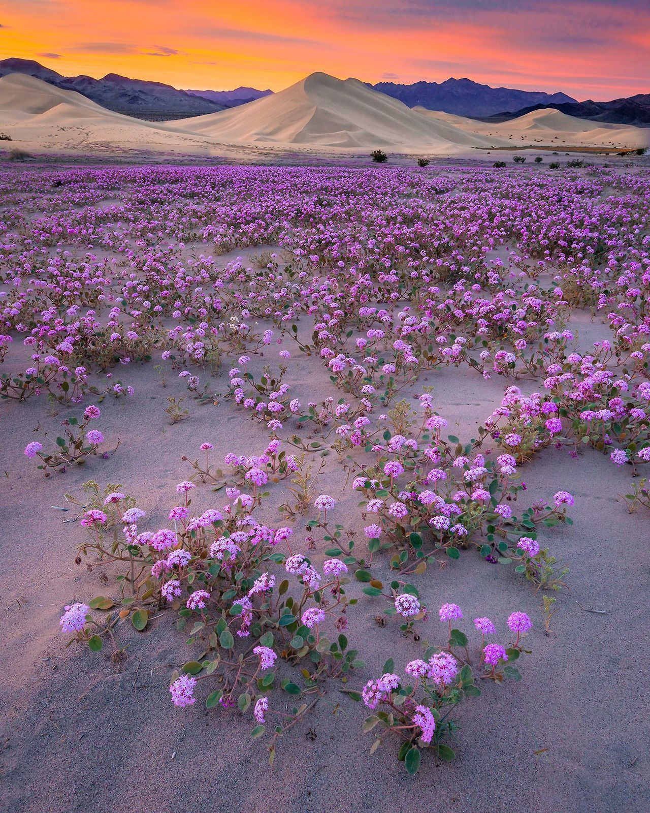 Americasgreatoutdoors death valley national park is famous for its americasgreatoutdoors death valley national park is famous for its spectacular spring wildflower displays mightylinksfo
