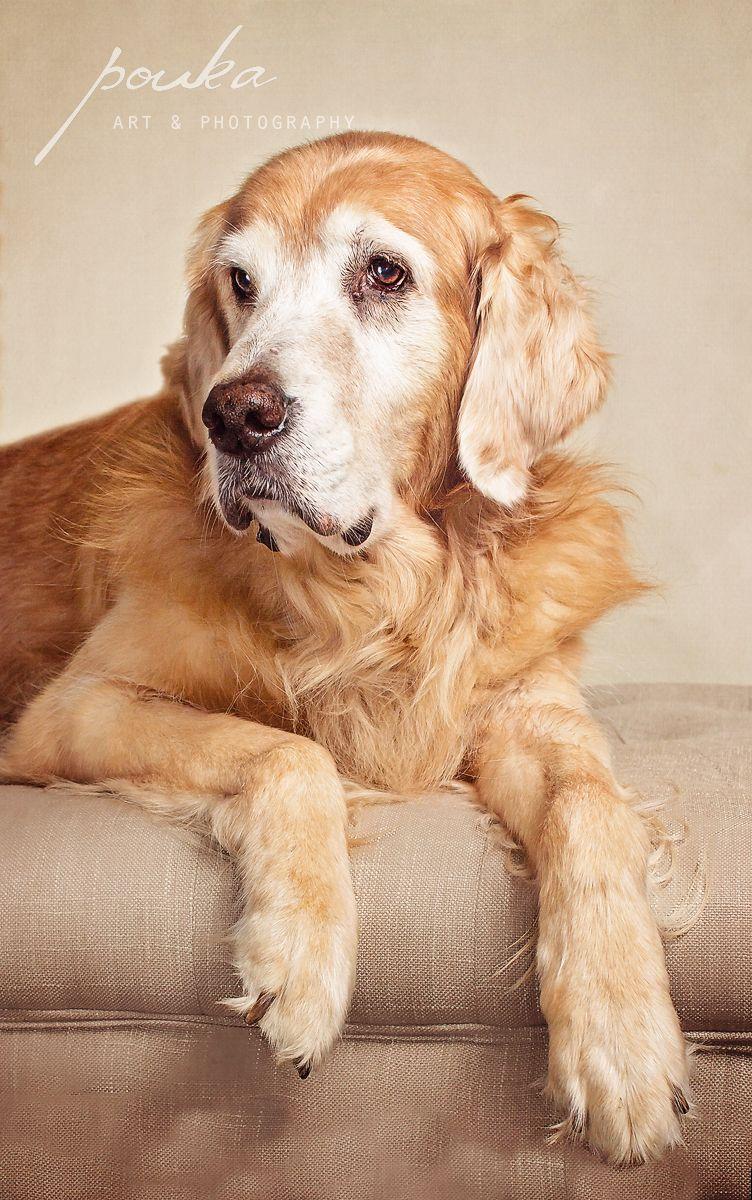 Apollo A Senior Golden Retriever Poses For His Portrait