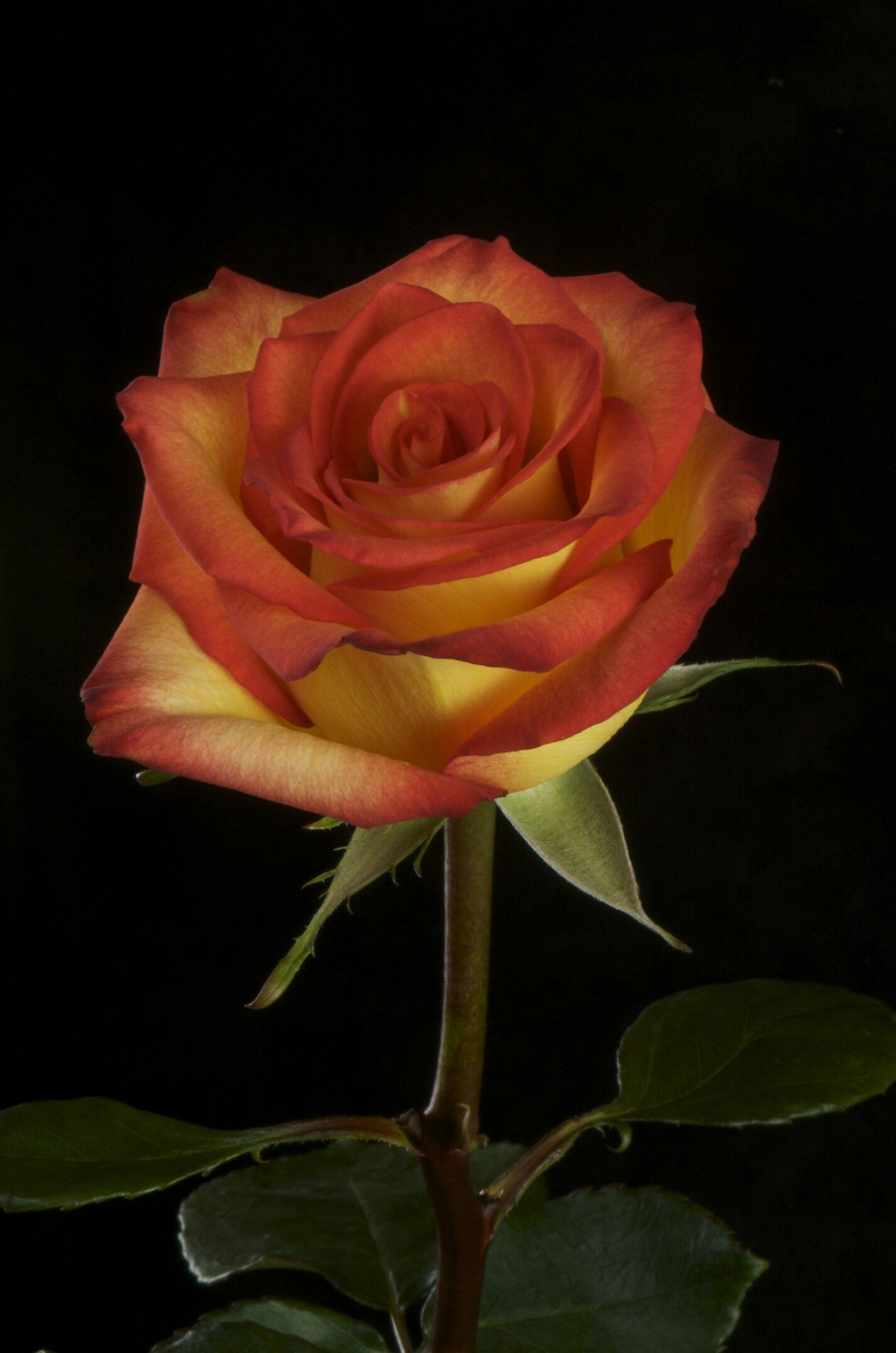 Pin by นันท์นภัส เรไรวรรณ on A ุred♡rose♡ | Pinterest | Flowers ...