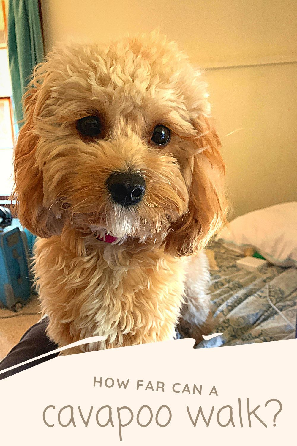 How Far Can A Cavapoo Walk Puppy Age And Maximum Distance Guide Oodle Dogs In 2020 Cavapoo Cavapoo Puppies Puppies