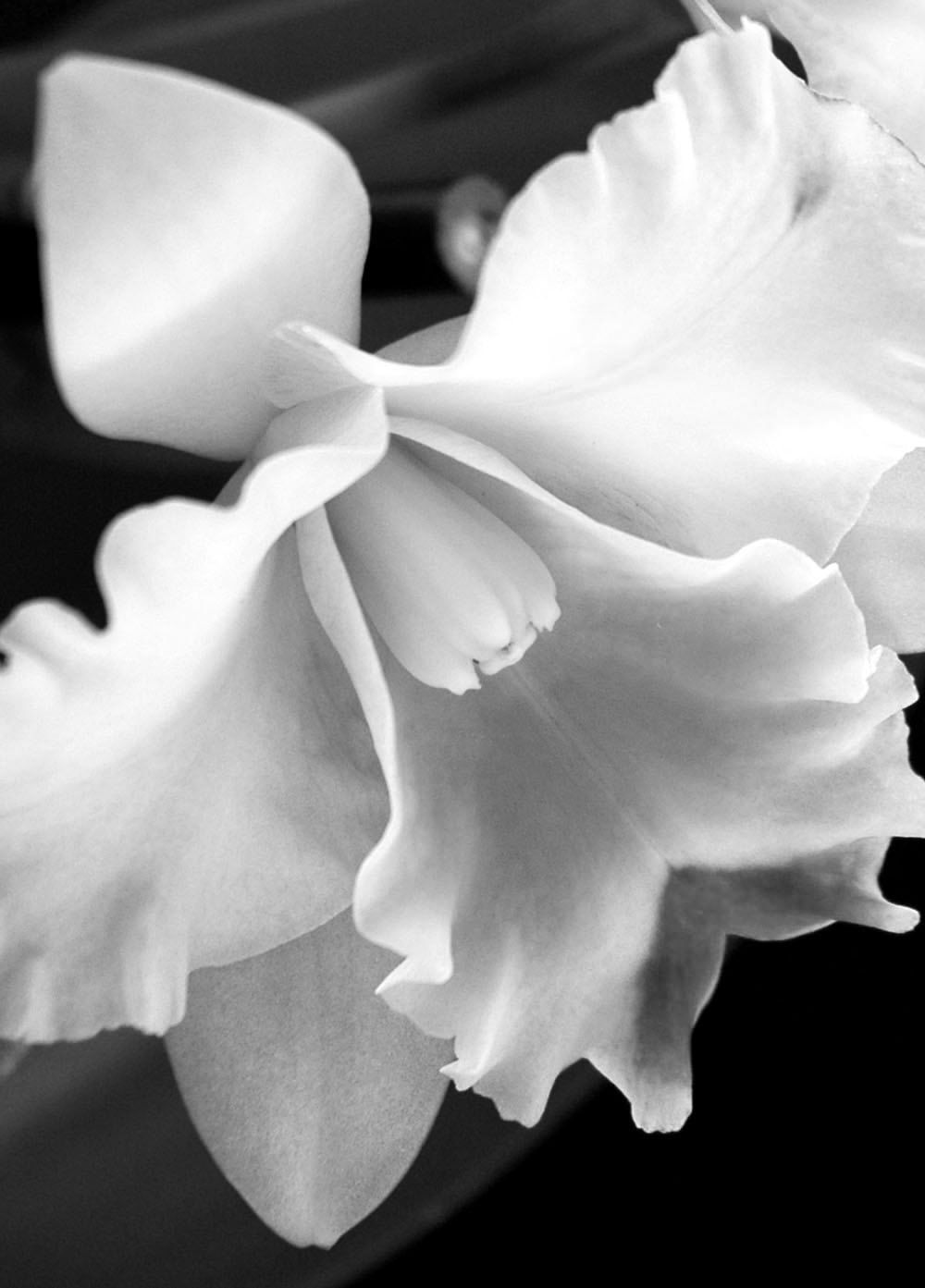 Black And White Orchid Cattleya Orchid Black And White Flower Macro Flower Fine Art Photography Wall Art Cattleya Orchid Macro Flower Macro Photography Flowers