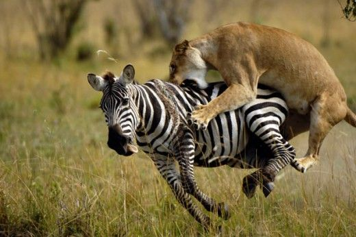 Wild Cats - Facts About the Lion