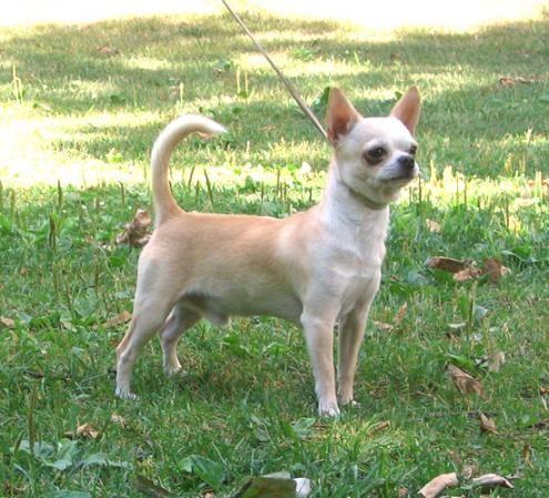 I 3 Chihuahuas Chihuahua Dogs Chihuahua Dog Sounds