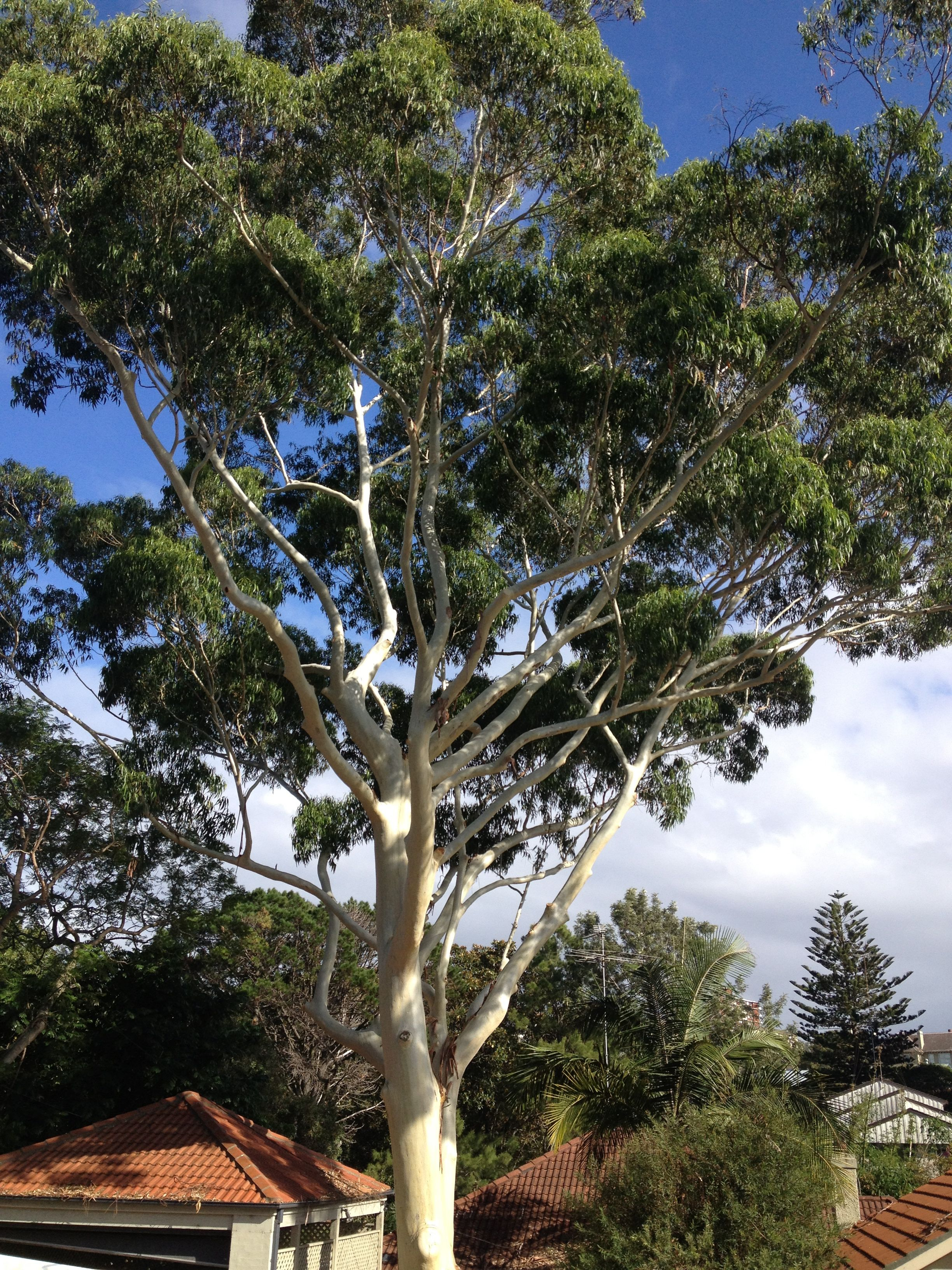 Big Australian Gum Tree Gorgeous Arvores