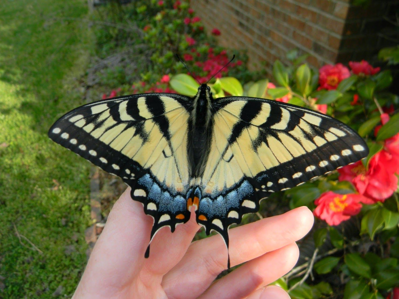 Holding Spring butterflies nature