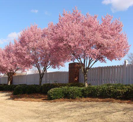 Okame Cherry Tree Fast Growing Trees Flowering Trees Flowering Cherry Tree