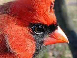 Cardinal Eye Close Up Cardinal Birds Pet Birds Beautiful Birds