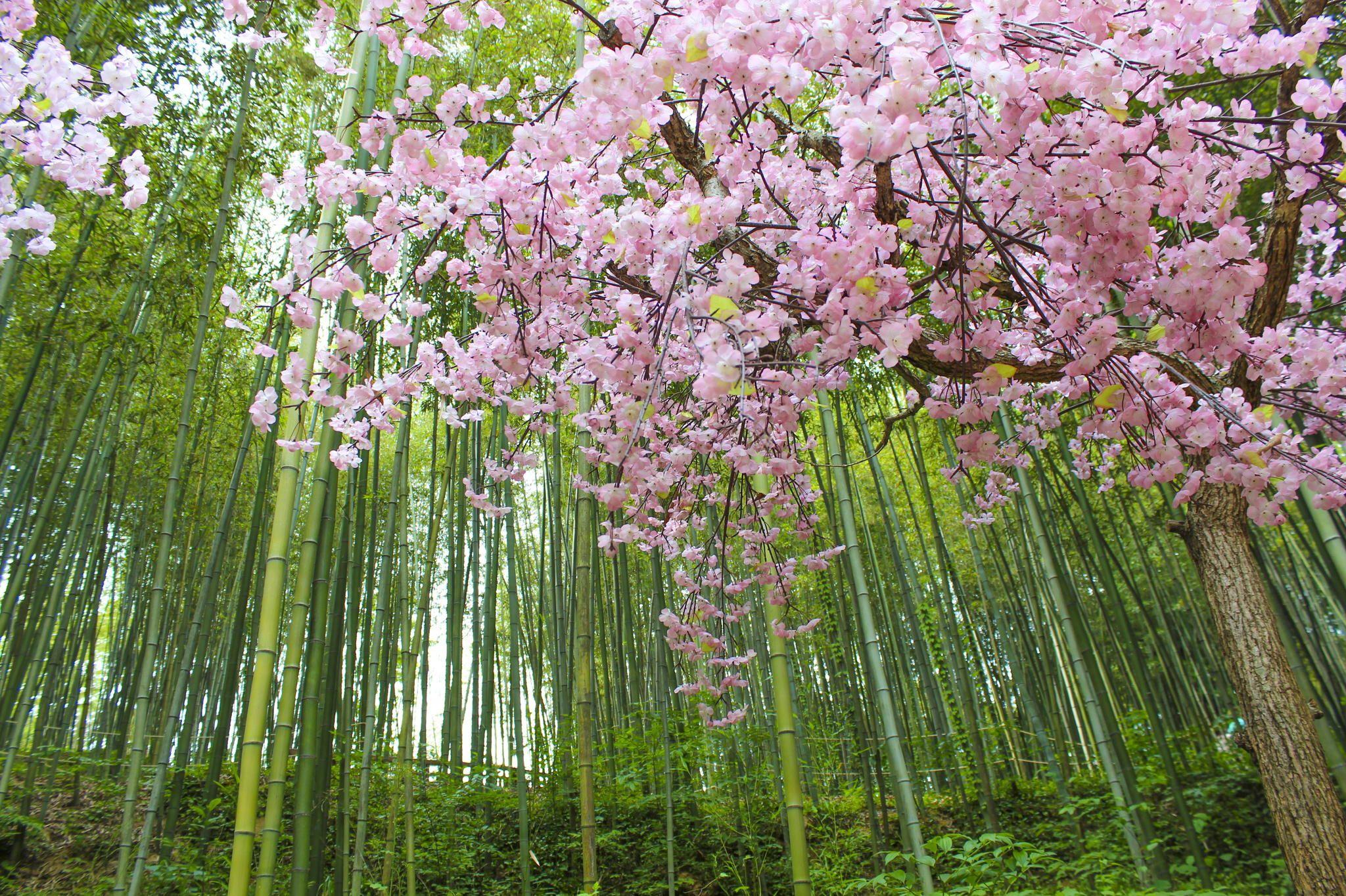 Bamboo Forest Cherry Blossom South Korea Travel Travel Destinations Photography