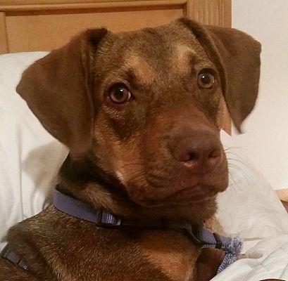 Orlando, FL - American Staffordshire Terrier. Meet Farrah ...
